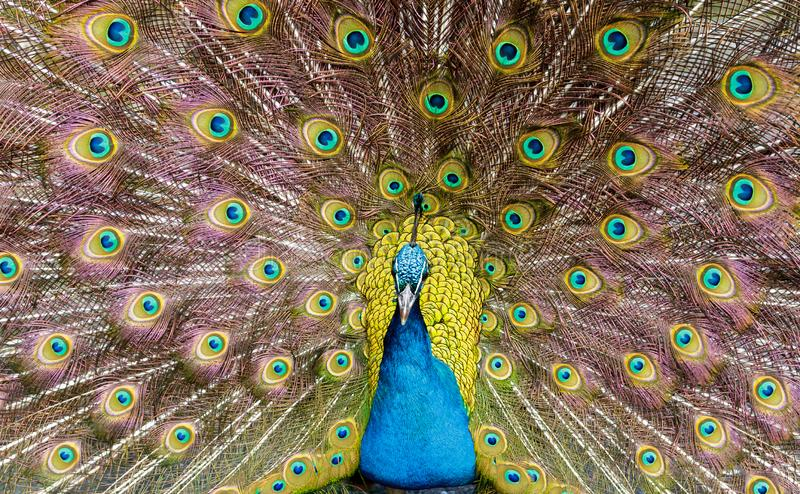 Peacock in full display. Close up of a male peacock peafowl displaying his impressive plumage royalty free stock photos