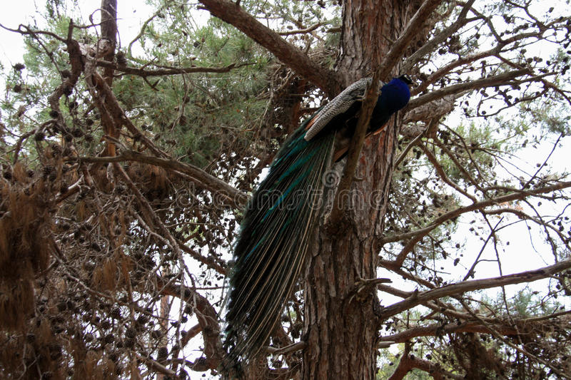 Peacock in Greece. Beautiful peacock in the forest on Kos island in Greece stock photography