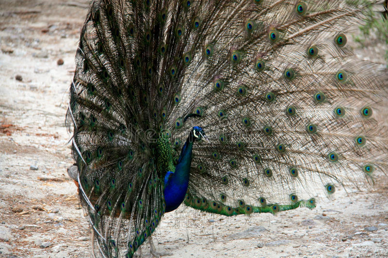Peacock in Greece. Beautiful peacock in the forest on Kos island in Greece royalty free stock photo