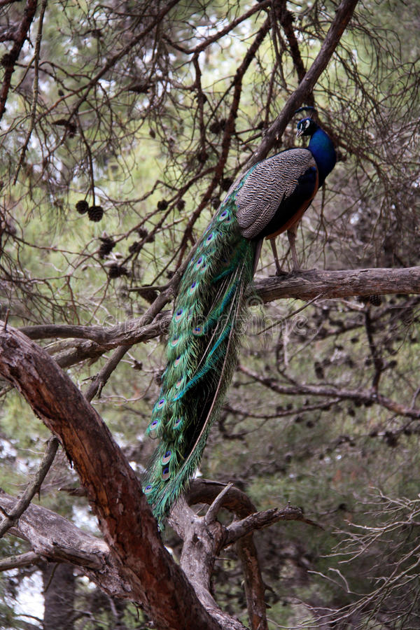 Peacock in Greece. Beautiful peacock in the forest on Kos island in Greece royalty free stock photography