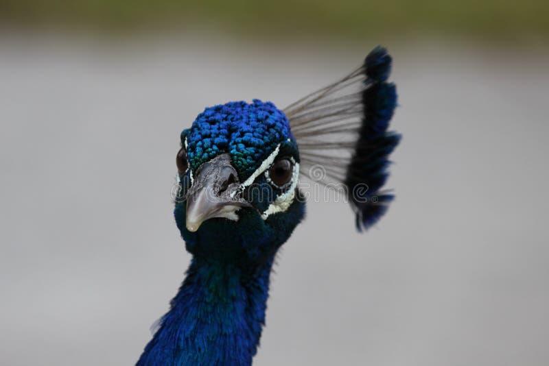 Peacock head shot royalty free stock photo