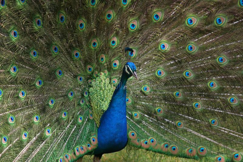 A peacock in his pride stock photos