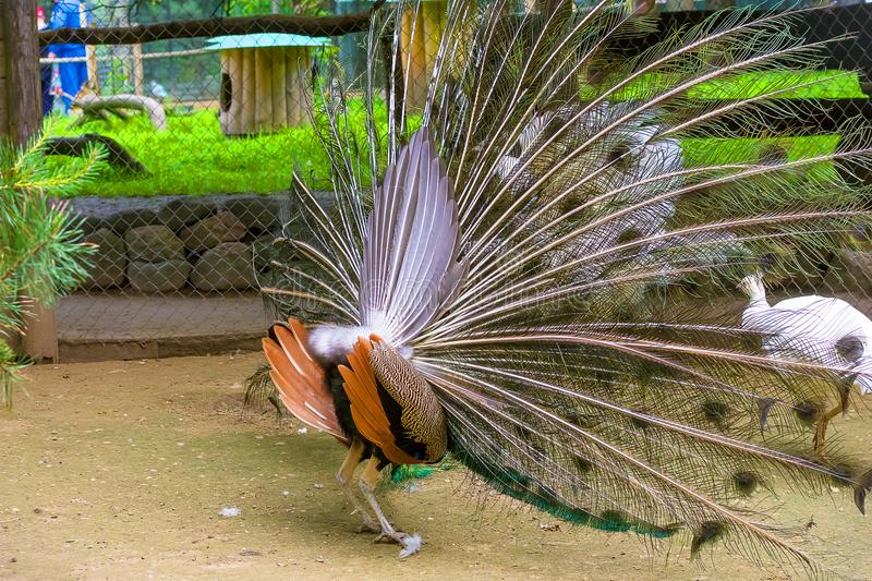 Indian peacock Close-up royalty free stock photography