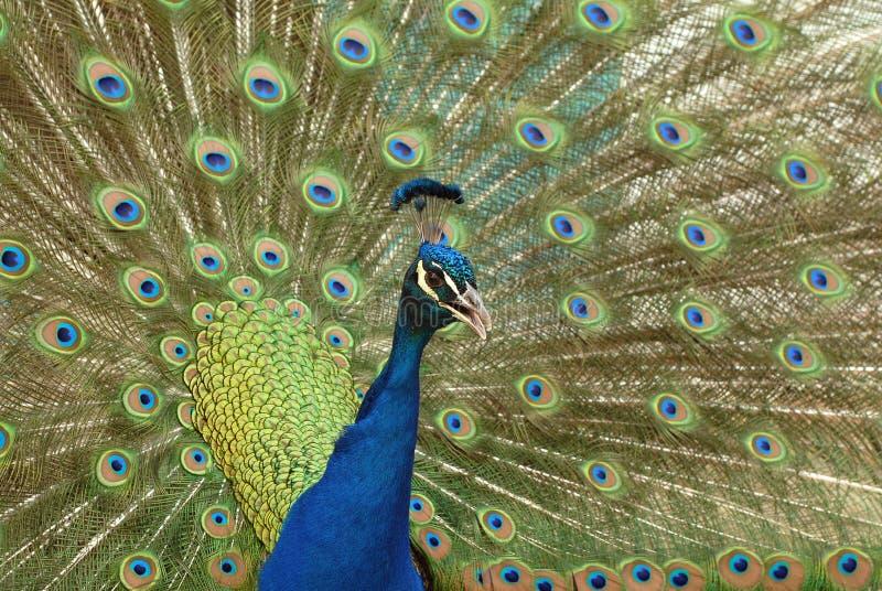 Peacock Indian peafowl. Indian peafowl peacock Pavo cristatus stock images