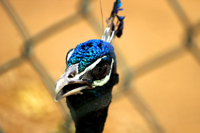 Peacock with its mouth open. Front view of Peacock closeup shot  with its mouth open at VOC Park in Coimbatore royalty free stock images