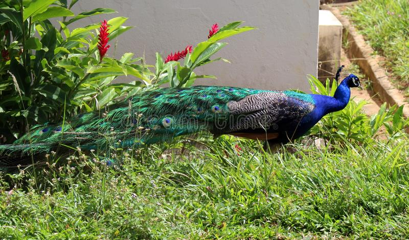 The peacock. And its plumage color circulating free of a zoo stock image