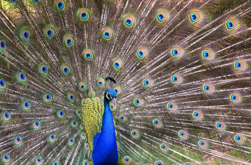 Peacock with its tail feathers fully opened. A royal blue peacock displays its tail feathers in a full impressive fan stock photography