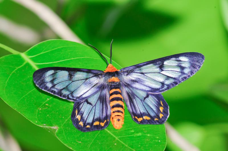 Peacock jewel moth royalty free stock images