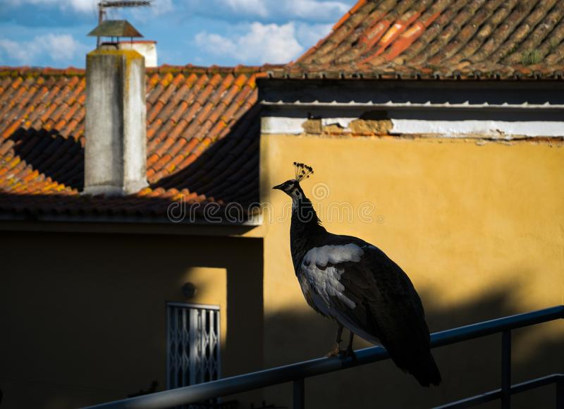Peacock. Lisbon. Portugal. Walking through the fortress of St. George. Old Town Lisbon. Alfama district royalty free stock photography