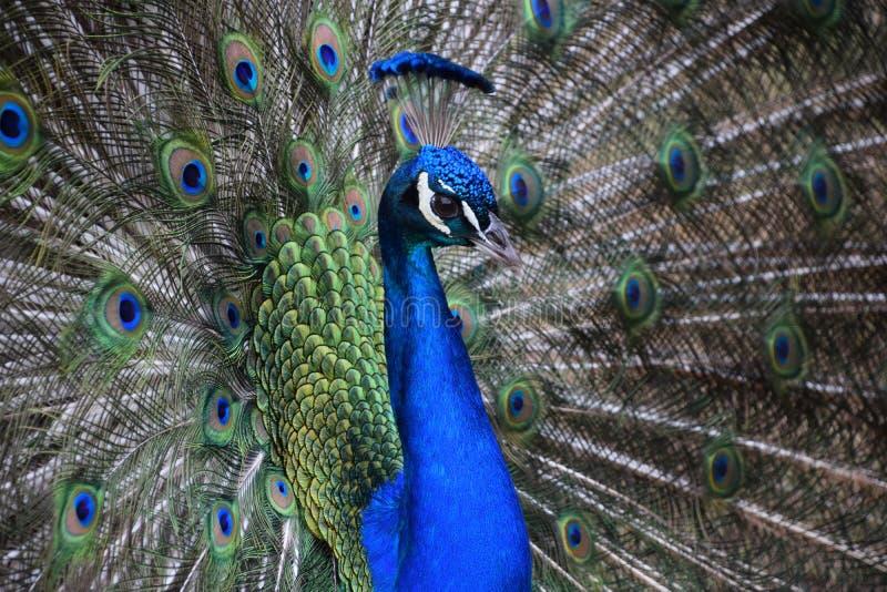 Peacock. Macro head galliformes aves stock images