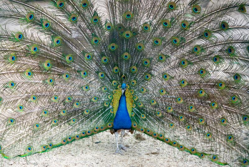 A peacock male is dancing a mating dance and showing off his bright plumage to lure a female. The beauty of the animal world close. Up stock photography