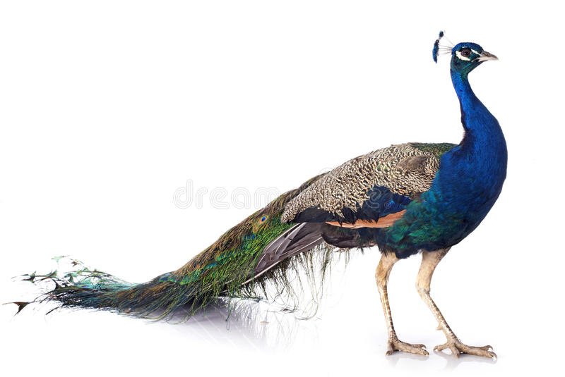 Peacock. Male peacock in front of white background