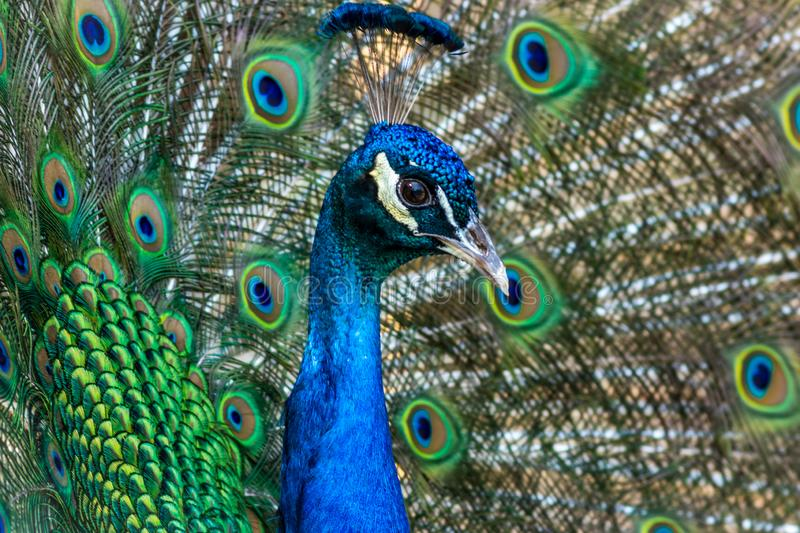 Peacock displaying brilliant plumage in blue and green hues. Peacock male, Phasianidae, displaying brilliant plumage in blue and green hues, animal, bird royalty free stock photography
