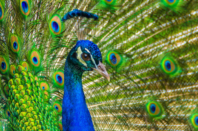 Male Blue Peacock showing it's colorful tail feathers royalty free stock photography