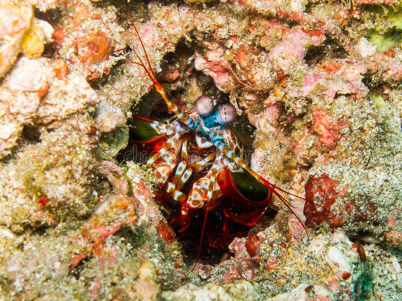 Download Peacock mantis shrimp stock photo. Image of marine, peacock - 28859610