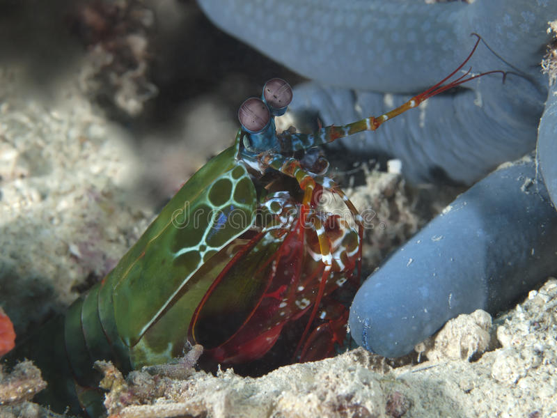 Peacock mantis shrimp stock images