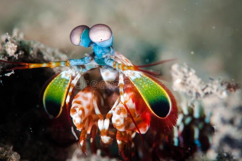 Peacock mantis shrimp in Gorontalo, Indonesia underwater photo stock images