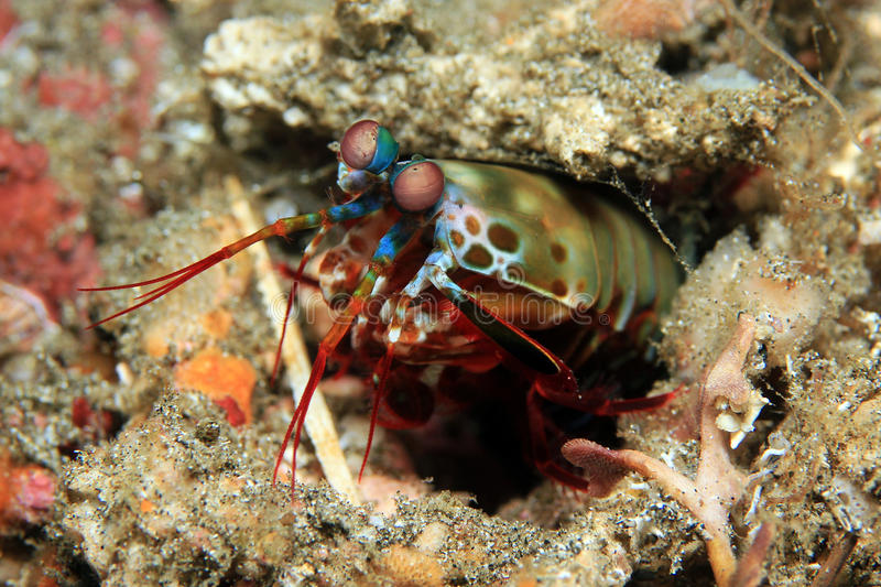 Peacock Mantis Shrimp stock photos