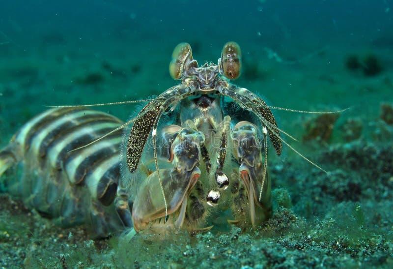 Peacock Mantis Shrimp royalty free stock image