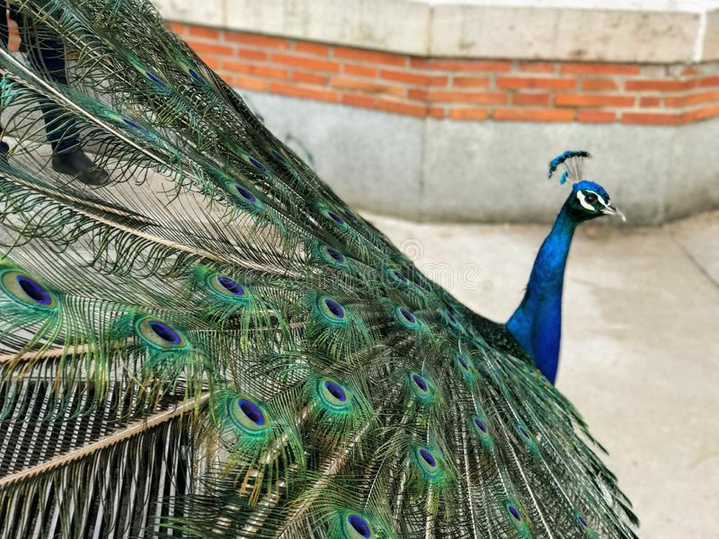 Peacock in Mating Season in  The Retiro Park royalty free stock images