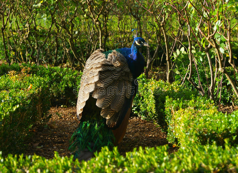Peacock in Maze stock photography