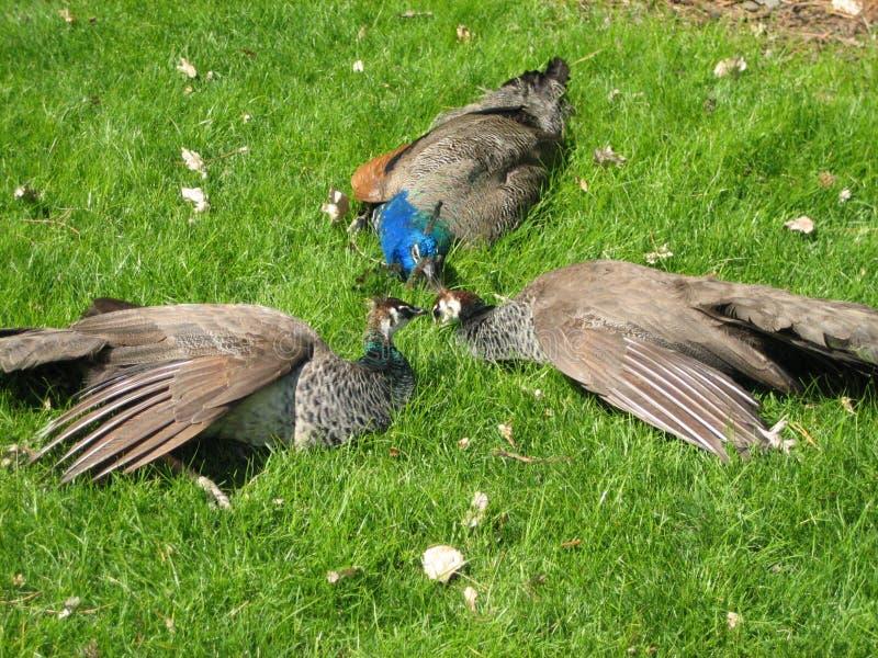 Peacock muster royalty free stock photos