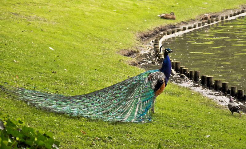 Download Peacock - Nature Art Royalty Free Stock Image - Image: 20464046