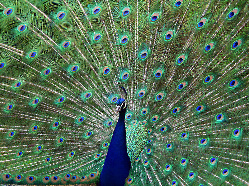 Peacock One stock image