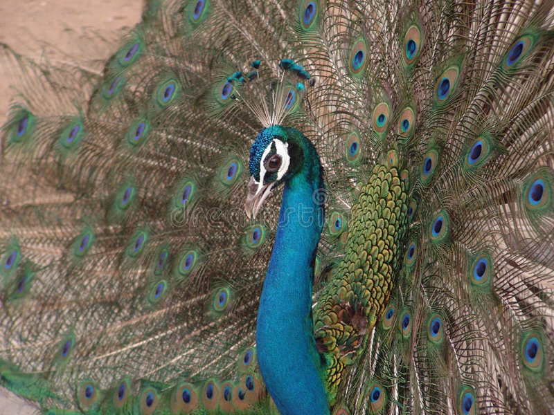 Peacock Open Feathers royalty free stock images