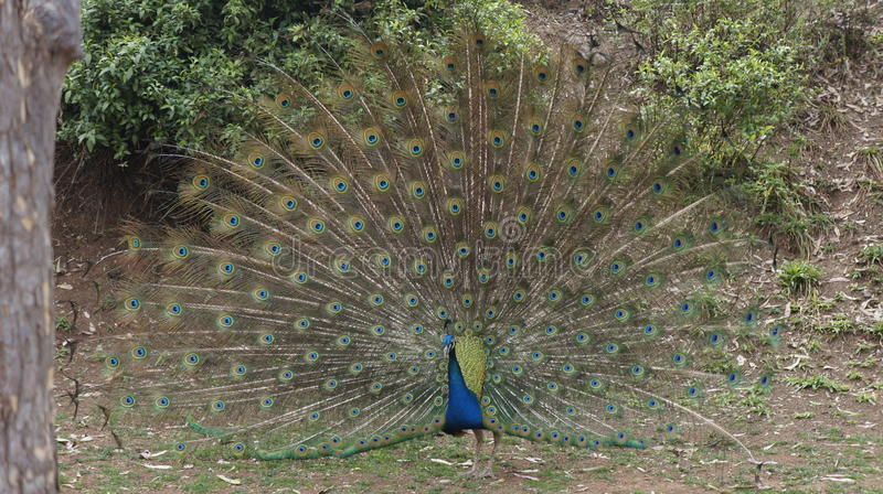 Peacock with open tail stock photos