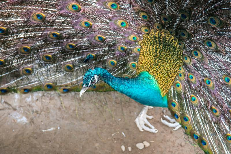 Peacock opening feathers royalty free stock photography