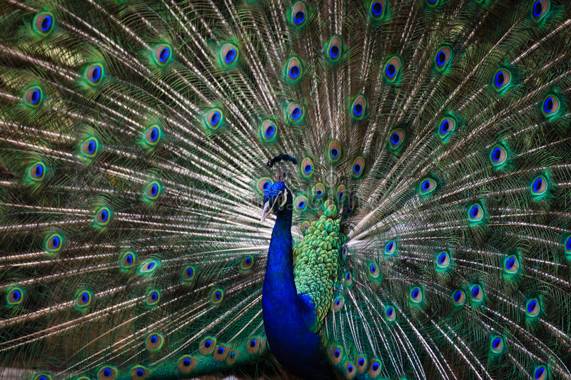 Peacock opening its feather to attract female. In ''Paya-Indah'' Wetland, Malaysia, a beautiful and shinning Peacock opening its feather to gain attraction from royalty free stock images