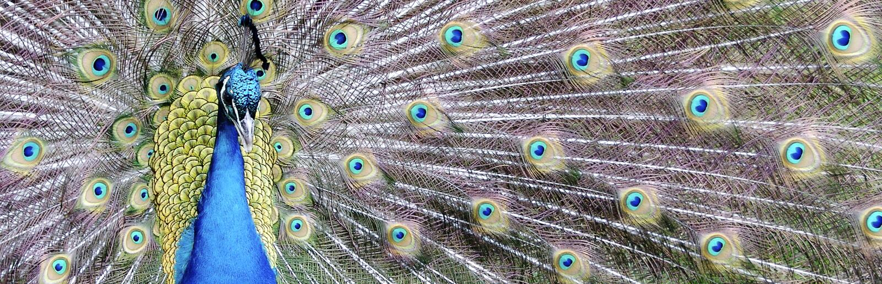 Peacock Panarama stock images