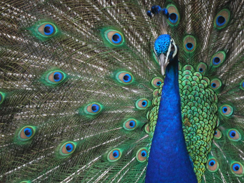 Peacock. In the parc, in Mexico. The elongated upper tail coverts make up the train of the Indian stock image
