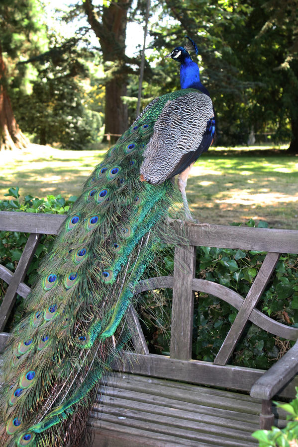 Peacock in the park. Beautiful colorfull peacock in the park. Photo from London royalty free stock photos