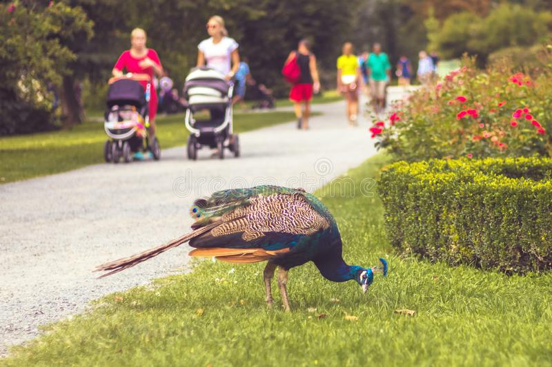 Peacock in the park, walking people in background stock image