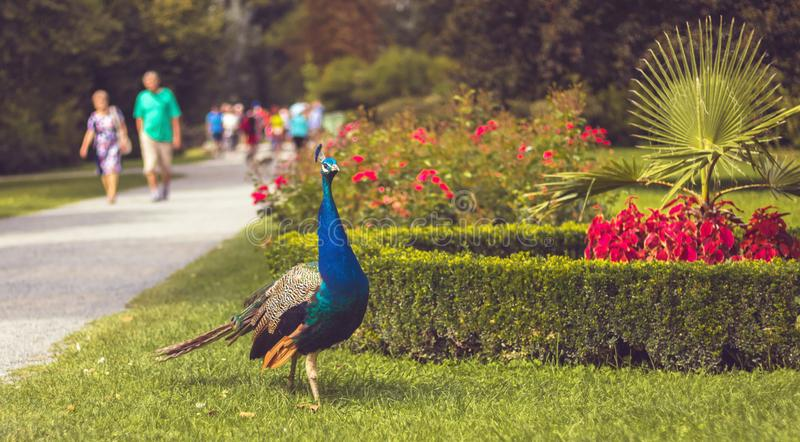 Peacock in the park, walking people in background royalty free stock photography