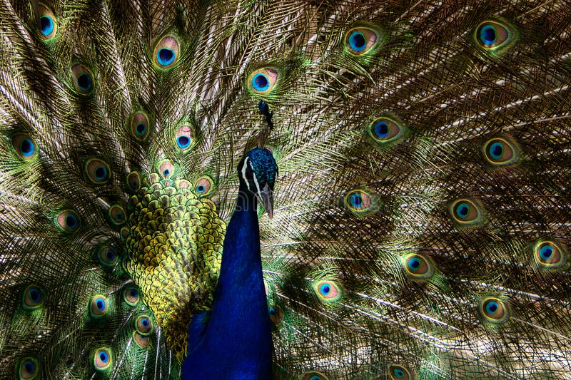 Peacock patterns. Sunlight patterns on the famous coloured peackock tail highlighting the geometric shapes in the eyes