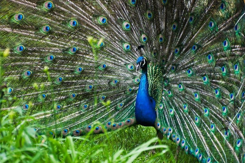 Peacock (Pavo cristatus). Picture of peacock (Pavo cristatus stock images