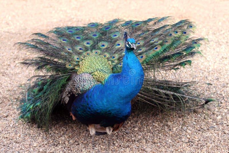 Peacock - Pavo Cristatus. Colorful peacock standing alone in the sand - Pavo Cristatus stock image