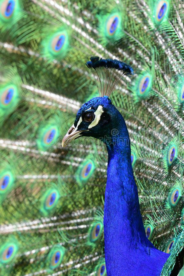Peacock pavo cristatus. Close up portrait of a peacock pavo cristatus fanning out it`s tail feathers stock images