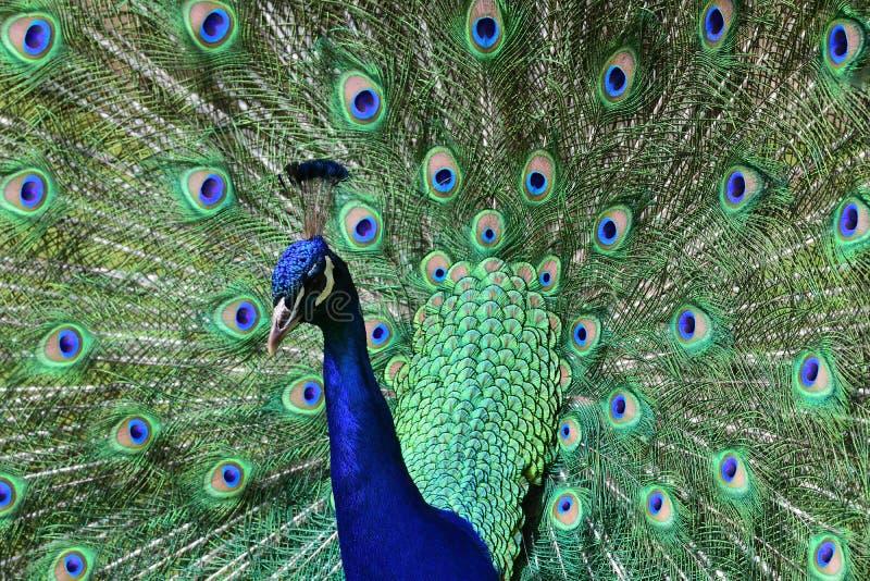 Peacock pavo cristatus. Close up portrait of a peacock pavo cristatus fanning out it`s tail feathers stock image