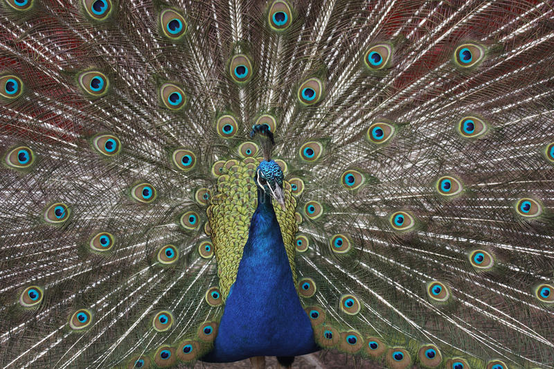 Download Peacock stock photo. Image of blue, feathers, mate, tail - 31588264