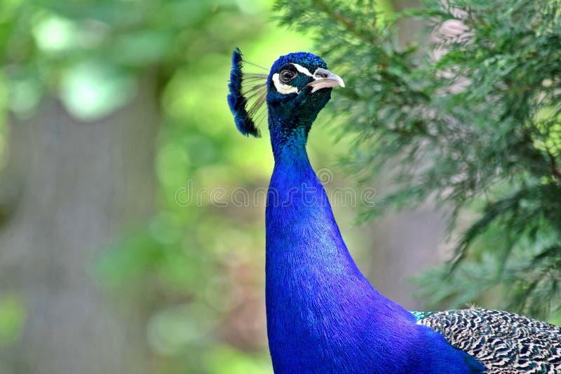 Peacock Pavo Cristatus Head Closeup. Portrait royalty free stock images