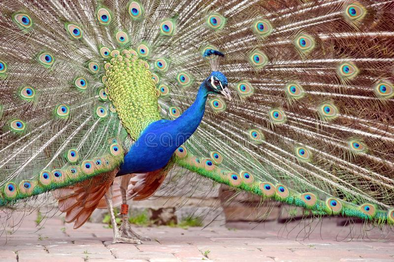 Peacock Pavo Cristatus with Outstretched Wings. Portrait royalty free stock photo