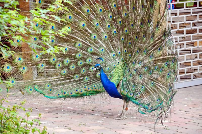 Peacock Pavo Cristatus with Outstretched Wings Walking. Portrait royalty free stock photos
