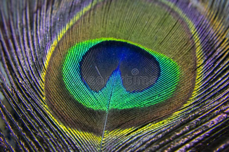 Peacock Peafowl Colorful Shining Feather Macro Closeup stock afbeelding