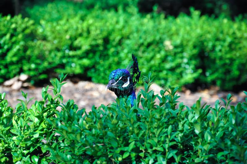 Peacock peaking out of bushes stock photos