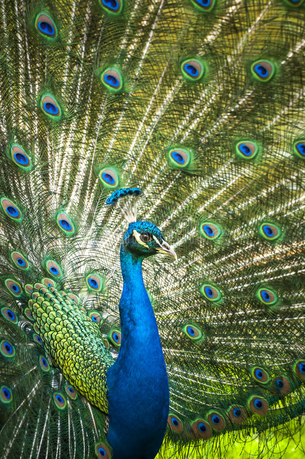 Download Peacock stock image. Image of ceremony, colorful, pheasant - 30659469