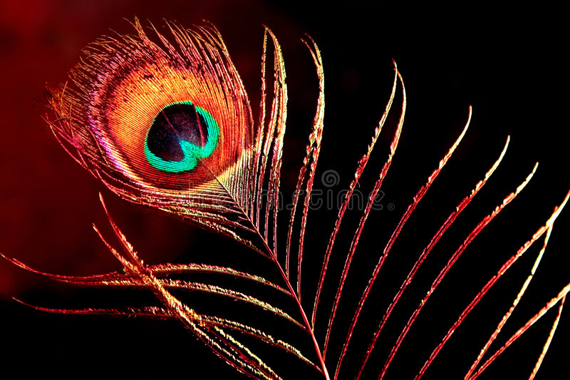 Peacock plume. Single peacock plume on black background stock images